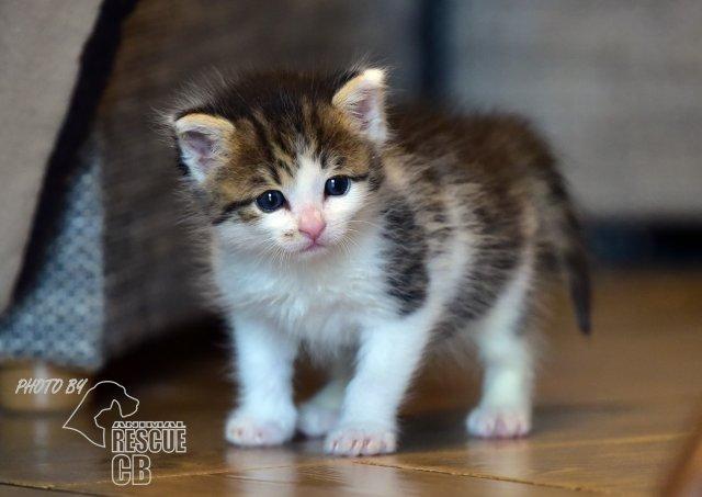 Evropská krátkosrstá kočka 83/IV_2020
