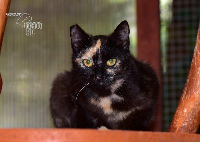 Evropská krátkosrstá kočka 86/V_2020