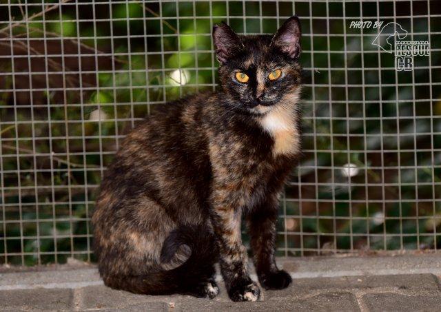 Evropská krátkosrstá kočka 87/V_2020