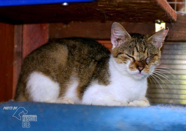 Evropská krátkosrstá kočka 100/VI_2020