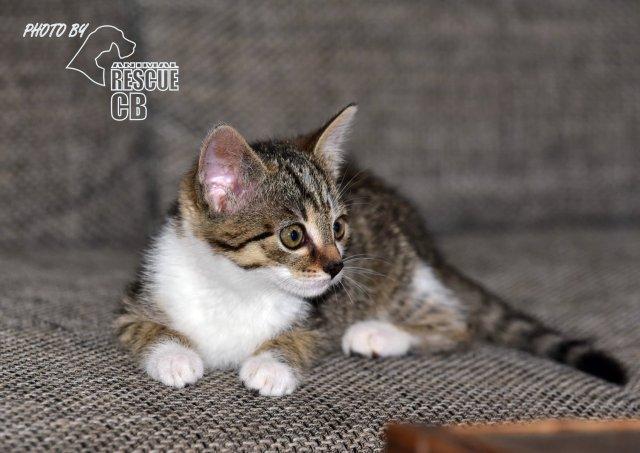 Evropská krátkosrstá kočka 116/VI_2020