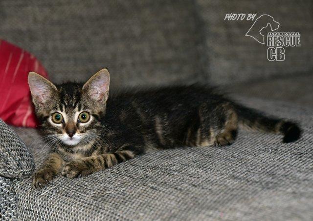 Evropská krátkosrstá kočka 117/VI_2020