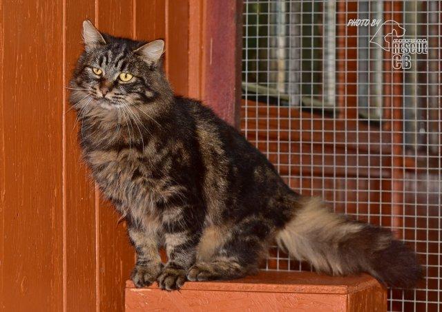 Evropská dlouhosrstá kočka 121/VI_2020