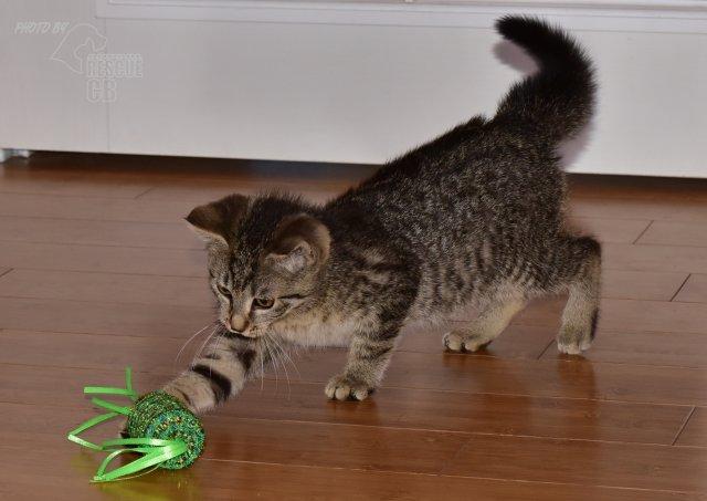 Evropská krátkosrstá kočka 132/VII_2020