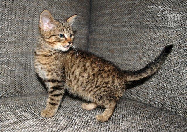 Evropská krátkosrstá kočka 133/VII_2020