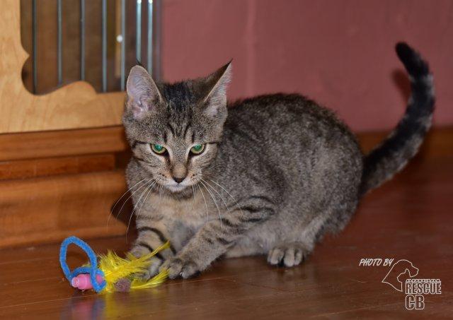 Evropská krátkosrstá kočka 134/VII_2020