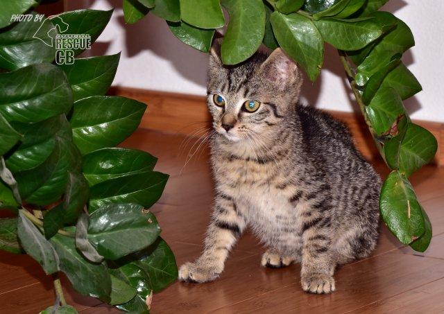 Evropská krátkosrstá kočka 135/VII_2020