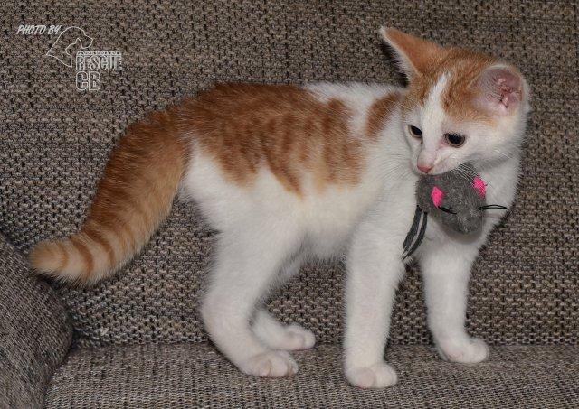 Evropská krátkosrstá kočka 136/VII_2020