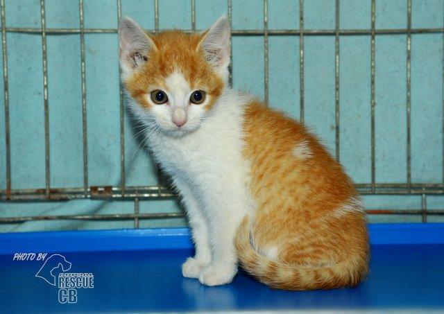 Evropská krátkosrstá kočka 137/VII_2020