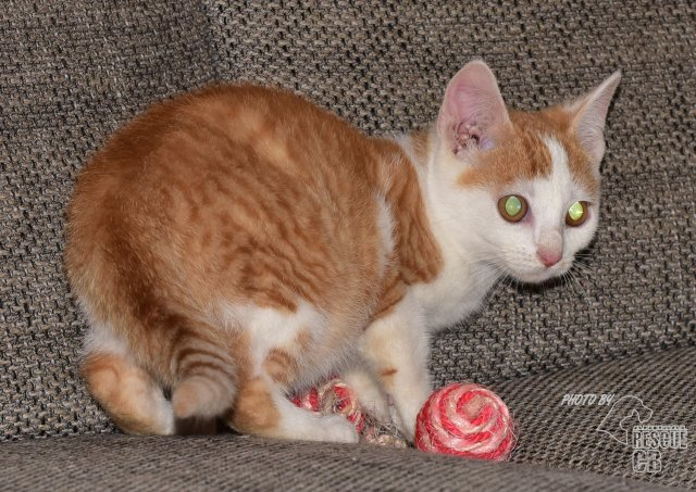 Evropská krátkosrstá kočka 138/VII_2020