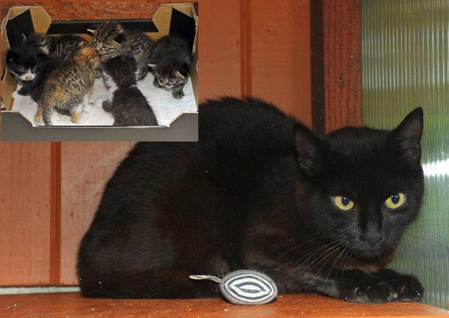 Evropská krátkosrstá kočka 152/VII_2020