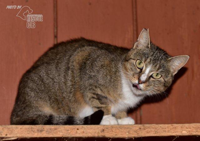 Evropská krátkosrstá kočka 173/IX_2020