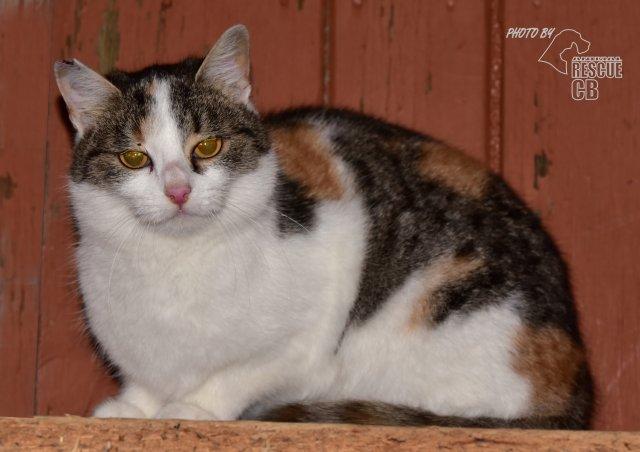 Evropská krátkosrstá kočka 194/IX_2020