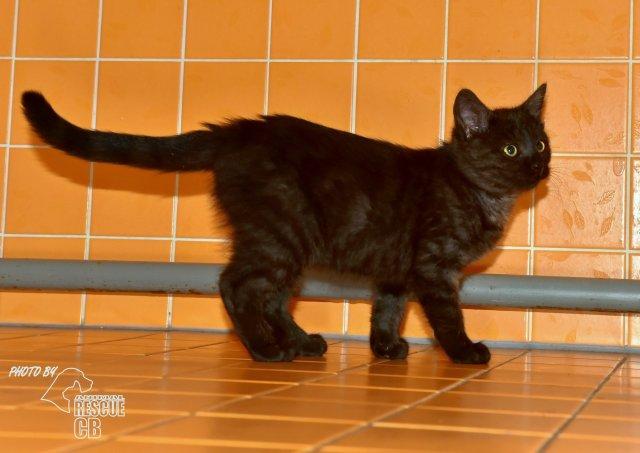 Evropská krátkosrstá kočka 216/X_2020