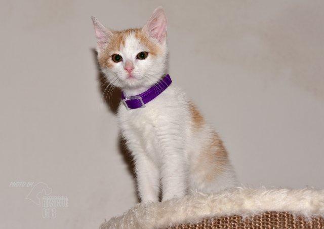 Evropská krátkosrstá kočka 227/XI_2020