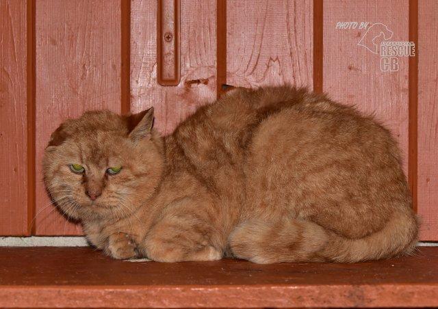 Evropská krátkosrstá kočka 242/XI_2020