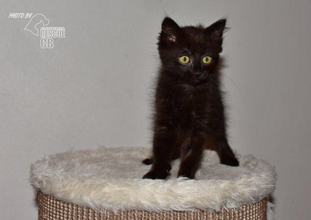 Evropská krátkosrstá kočka 249/XII_2020