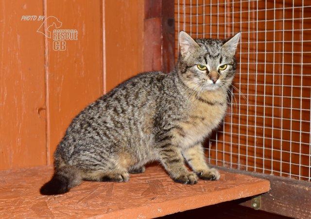 Evropská krátkosrstá kočka 47/III_2021