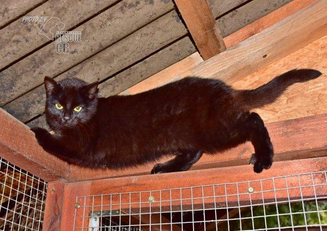 Evropská krátkosrstá kočka 48/III_2021