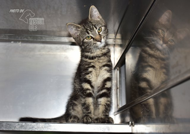 Evropská krátkosrstá kočka 98/VI_2021