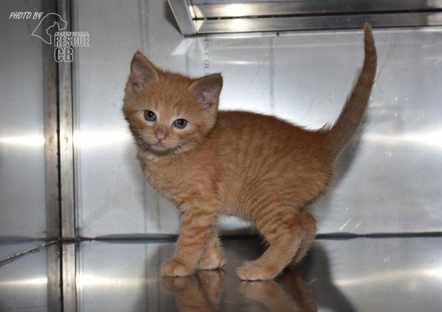 Evropská krátkosrstá kočka 102/VI_2021