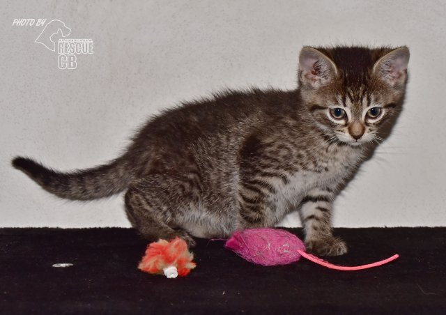 Evropská krátkosrstá kočka 103/VI_2021