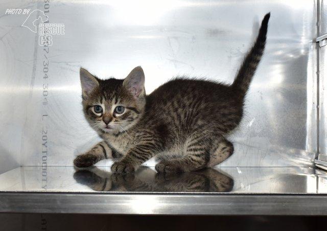 Evropská krátkosrstá kočka 104/VI_2021