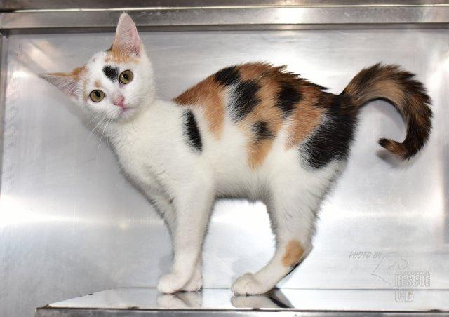 Evropská krátkosrstá kočka 165/X_2021