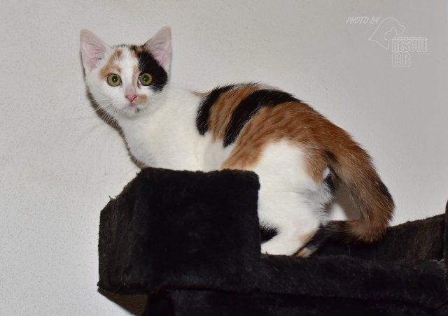 Evropská krátkosrstá kočka 166/X_2021
