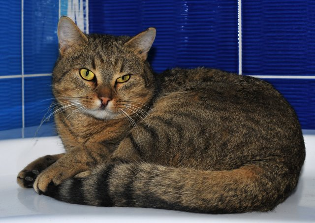 Evropská krátkosrstá kočka 5/I_2019