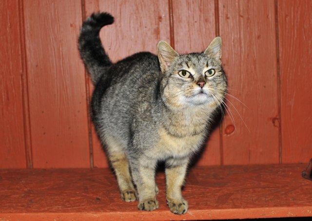 Evropská krátkosrstá kočka 62/III_2019