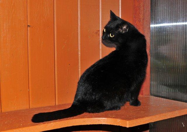 kočka evropská krátkosrstá 63/III_2019