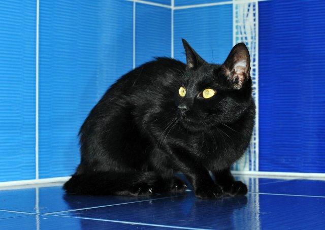 Evropská krátkosrstá kočka 84/IV_2019