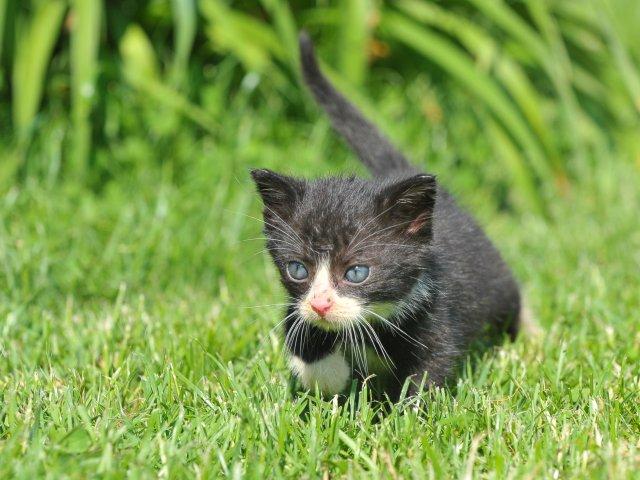 Evropská krátkosrstá kočka 94/V_2019