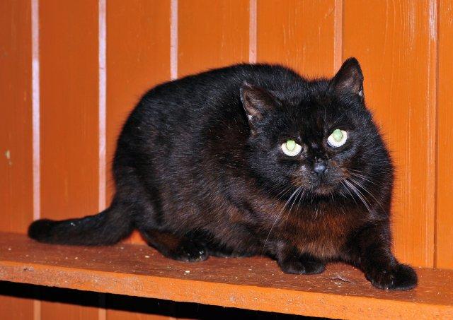 Evropská krátkosrstá kočka 98/V_2019