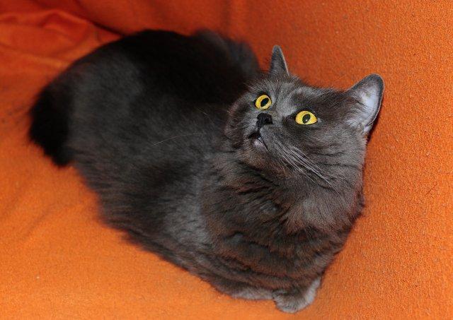 Britská kočka 122/VI_2019