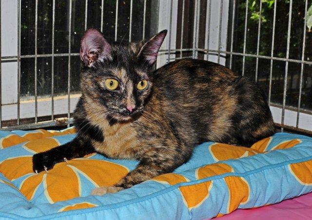 Evropská krátkosrstá kočka 159/VII_2019