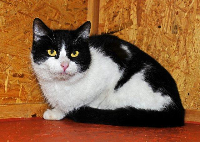 Evropská krátkosrstá kočka 190/IX_2019