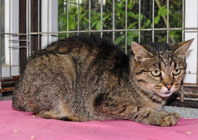 Evropská krátkosrstá kočka 213/IX_2019