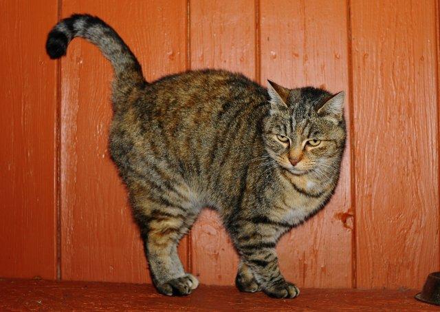 Evropská krátkosrstá kočka 263/XI_2019