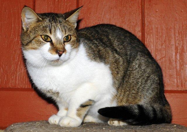Evropská krátkosrstá kočka 276/XII_2019
