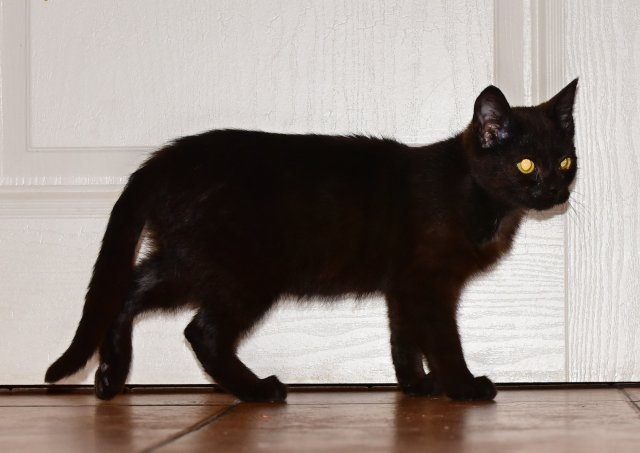 Evropská krátkosrstá kočka 12/I_2020