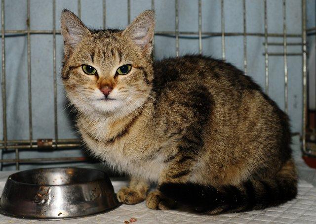 Evropská krátkosrstá kočka 20/I_2020